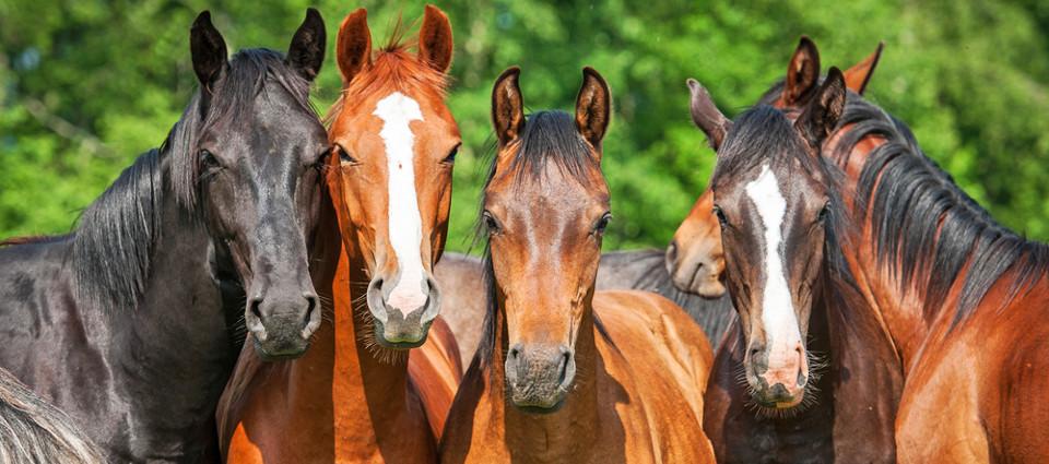 Livs- og brugsforsikring for heste hhv. klasse AA og klasse AB