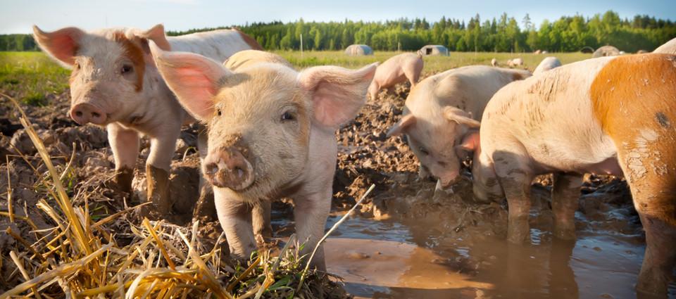 Livsforsikring for svin klasse C
